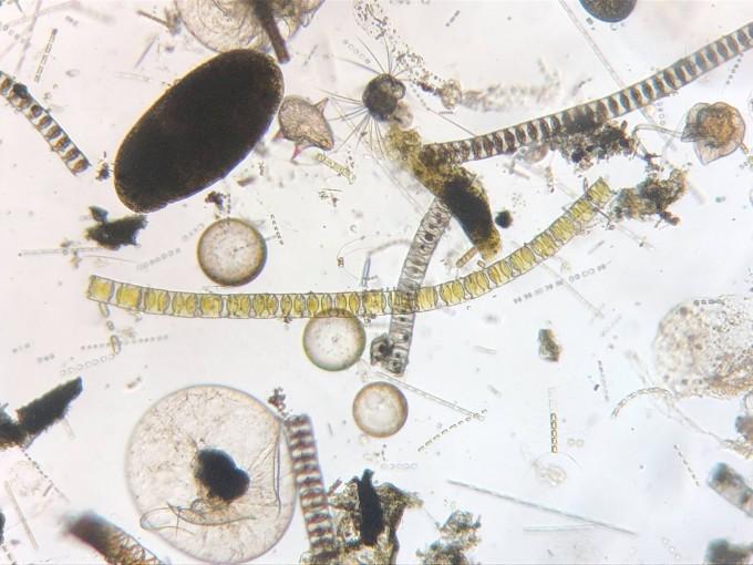 海のプランクトン かんさつ体験